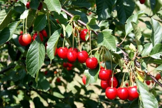 Trumponių vyšnios I