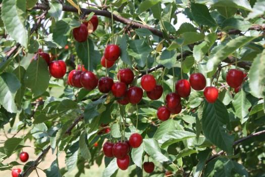 Trumponių vyšnios II